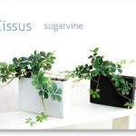 消臭効果のある観葉植物・シサスプラント (シュガーバイン)